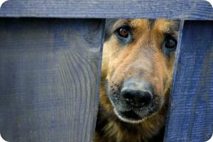 guard-dog